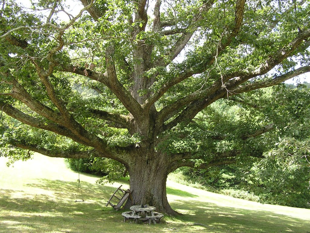 Image result for large trees