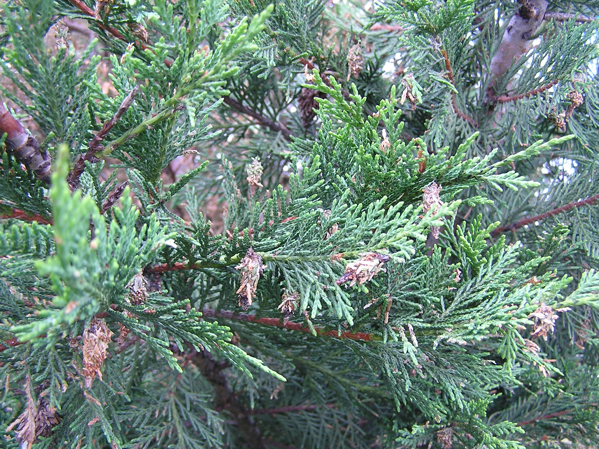 Bagworms on tree