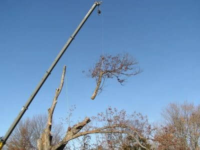 Removing the Maplewood Cemetery white oak tree