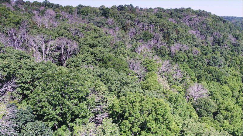 Emerald Ash Borer Attacks Staunton Region